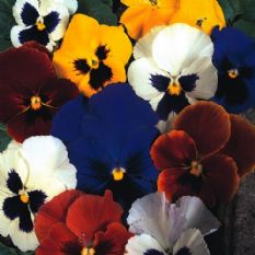 Pansy Swiss Giant mixed Appx 800 seeds